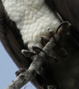 Florida Osprey Claws