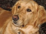 Our Golden Retriever, who is not a war dog..but adored just the same.