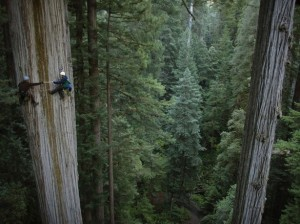 Climbing Redwood trees