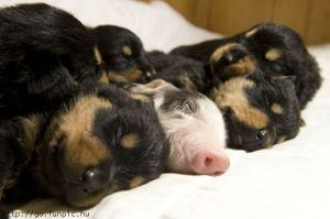 Puppies and a pig