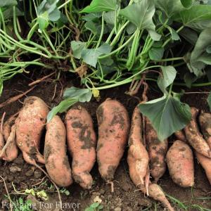 sweet-potatos-in-garden