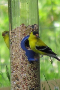 Birds yellow finches  VA