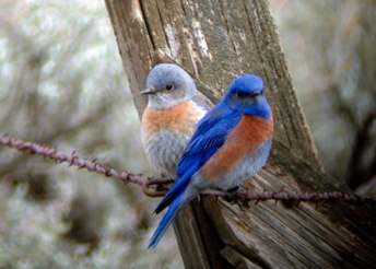 blue birds in tree