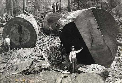 cutting down the redwood forest.jpg
