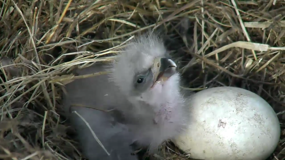 Eaglet-hatched-eagle-cam2 Early 2016