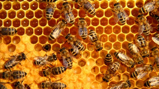 bees-on-a-honey-comb