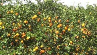 FLORIDA ORANGE TREES