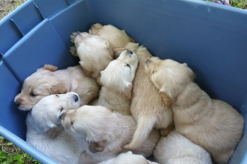 pups in box sm