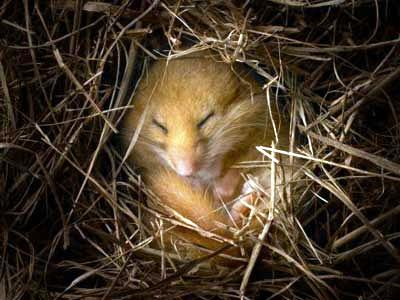 hibernation-dormouse
