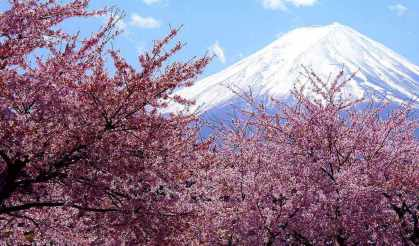 Japanese Cherry blossoms and Mt Fujipg