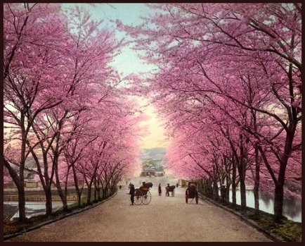 Japanese Cherry blossoms3