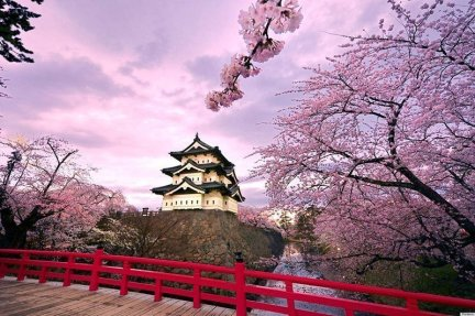 Japanese Cherry blossoms4jpg