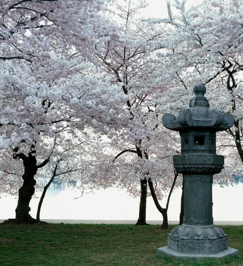 Original Cherry tree planted in Washington near stone Japanese lantern