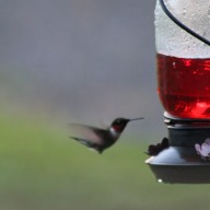 humming bird at feeder VA