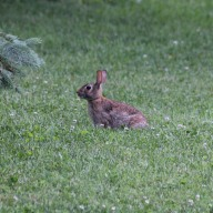 rabbit in yard3