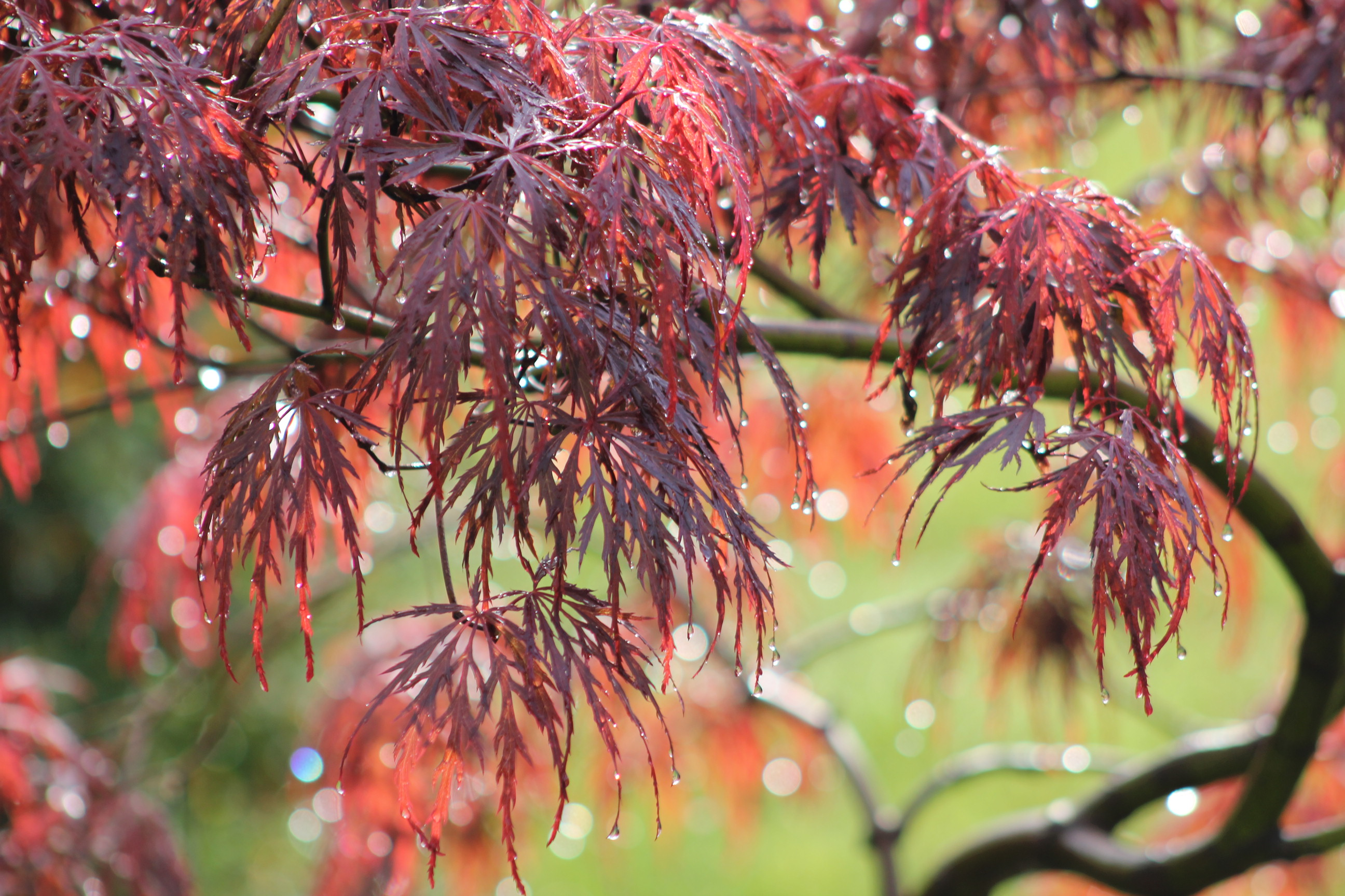 Japanese Maple favorite for nancy and bill
