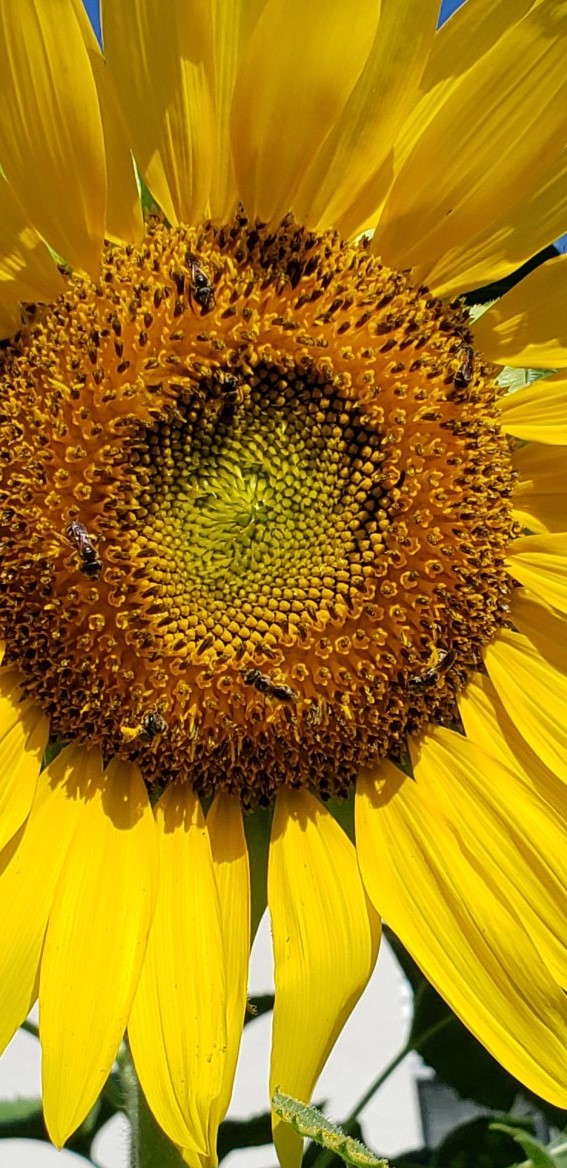 Sun Flower clup with bees best