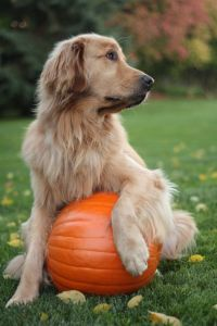 Golden Retriever and Thanksgiving pumpkin