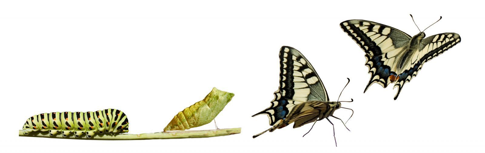 catepillar becomes a buterfly
