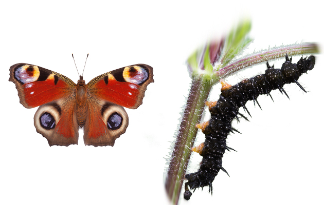 peacock-butterfly-caterpillar