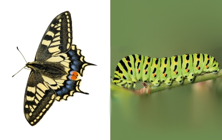swallowtail-butterfly-caterpillar